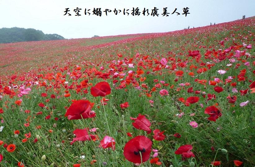 天空に艶やかに揺れ虞美人草