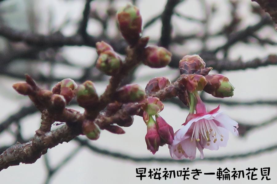 早桜初咲き一輪初花見
